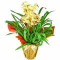 Orquídea - Cymbidium